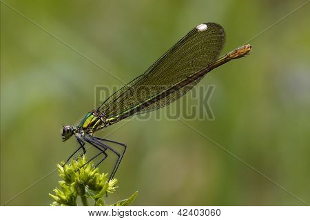 Side Of Wild Gold Green Dragonfly