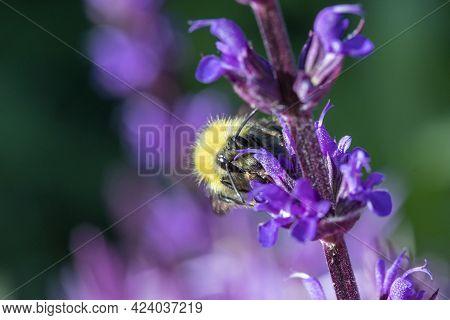 Small Bee (bombus Pratorum) On Salvia Nemorosa 'caradonna'