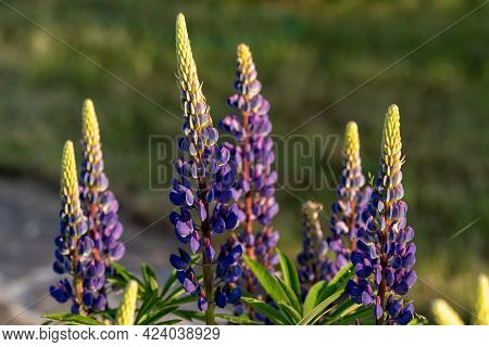 Bright Purple Lupine Flowers In The Garden, Under The Rays Of The Setting Sun.