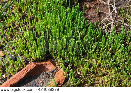 Botanical Collection, Edible Sea Succulent Plant, Salicornia Or Sea Glassworth Weed, Growing On Salt