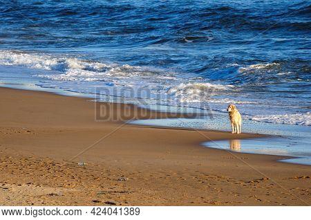 Perro De Raza Golden Retriever Esperando A Su Amo Junto A Las Olas En Playa Mansa En Punta Del Este,