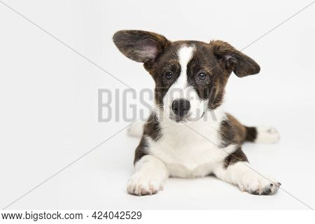 Welsh Corgi Cardigan Cute Fluffy Dog Puppy. Funny Animals On White Background With Copy Space.