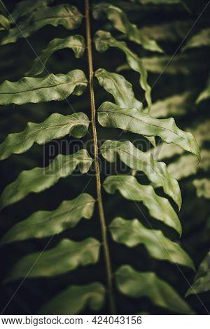 Close-up Of Drynaria Quercifolia Leaf At Botanical. Moody Tone.