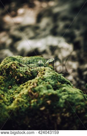 Close-up Of Green Moss And A Small Tree On The Rock By The River.