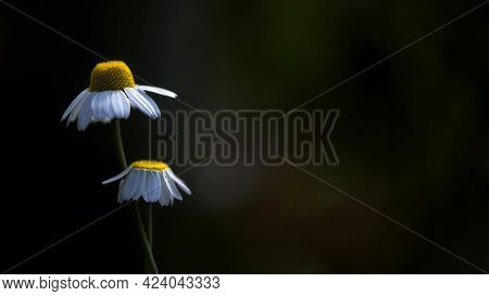 Healing Chamomile. Two Chamomile Flowers On A Dark, Artistic Background.