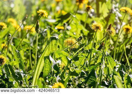 Field Of Yellow Dandelions. Summer Field Of Dandelions. Taraxacum Officinale, The Common Dandelion