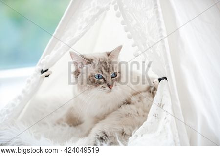 Closeup portrait of ragdol cat mother with beautiful blue eyes lying with her sleeping kittens inside white curtain tent on fur close to window. Adorable purebred feline family with kitty