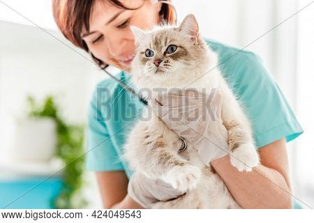 Smiling woman veterinarian holding fluffy ragdoll cat during medical care examining at vet clinic and listen to its heart. Closeup portrait of adorable purebred feline pet in animal hospital