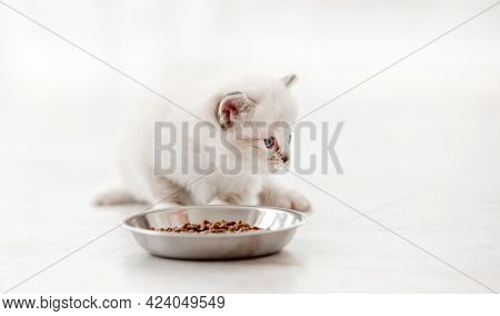 Adorable ragdoll kitty standing close to metal bowl with feed and looking back on white background. Cute purebred kitten going to eat