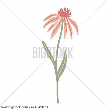 Echinacea Wildflower Hand Drawn Flat Vector Illustration Isolated On White Background