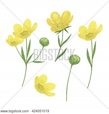 Yellow Buttercup Wild Flowers Set Watercolor Illustration Summer Meadow, Forest Plants, Delicate Flo