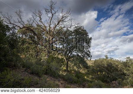 Mediterranean Forests With Several Species Of Genus Quercus In The Municipality Of Olmeda De Las Fue