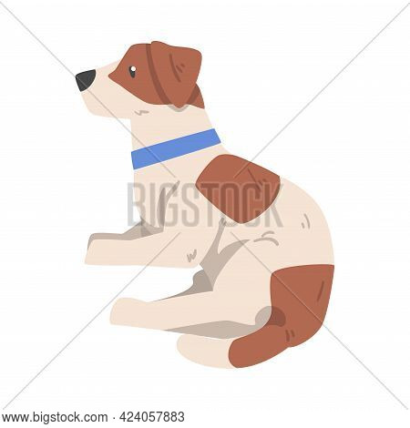 Jack Russell Terrier Lying On Floor, Cute Pet Animal With Brown And White Coat Cartoon Vector Illust