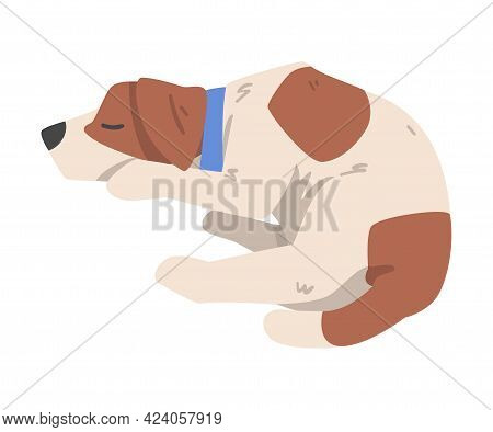 Cute Sleeping Jack Russell Terrier, Pet Animal With Brown And White Coat Cartoon Vector Illustration