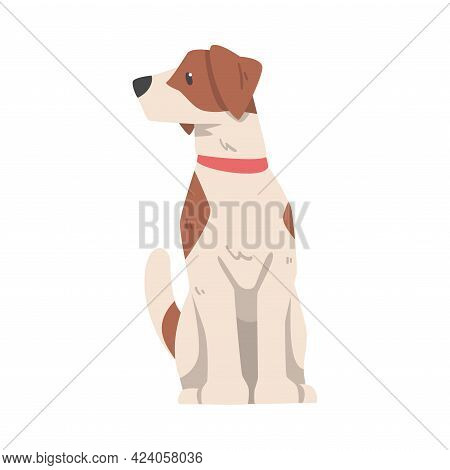 Jack Russell Terrier Sitting And Looking To The Side, Cute Pet Animal With Brown And White Coat Cart