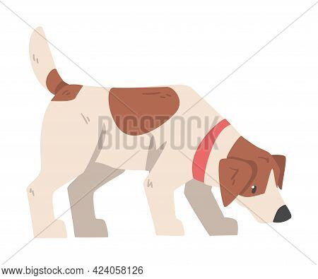 Jack Russell Terrier Sniffing The Ground, Cute Pet Animal With Brown And White Coat Cartoon Vector I