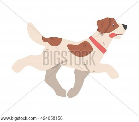 Jack Russell Terrier Running, Side View Of Pet Animal With Brown And White Coat Cartoon Vector Illus