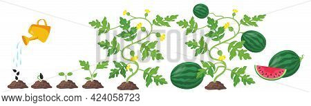 Process Of Watermelon Plant Growth. Cartoon Vector Illustration. Different Stages Of Watermelon Deve