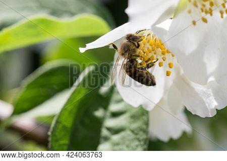 Honey Bee Collecting Bee Pollen From White Blossom. Bee Collecting Honey.