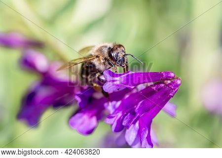 Honey Bee Collecting Bee Pollen From Purple Blossom. Bee Collecting Honey.