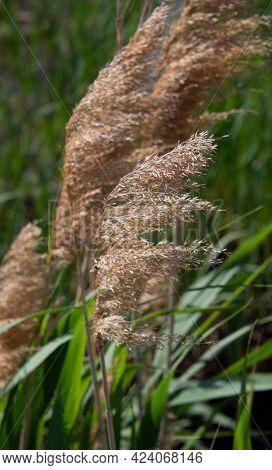 Grass In The Wind Under A Beautiful Field