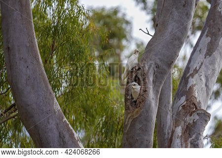 Two Cockatoos On A Tree Trunk, One Emerging From Its Nest