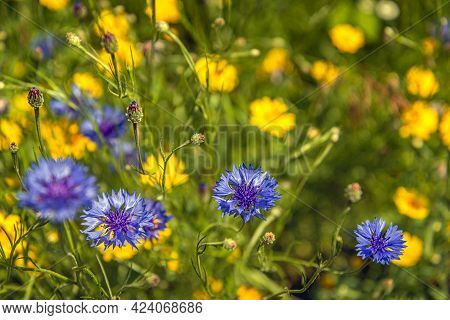 Close-up Of Budding And Blue Blooming Cornflowers In The Foreground Of A Dutch Field Border To Promo