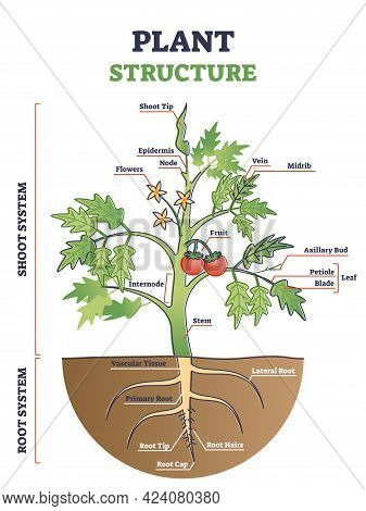 Plant Structure With Root, Stem And Leaf Anatomical Sections Outline Diagram. Educational Tomato Mod