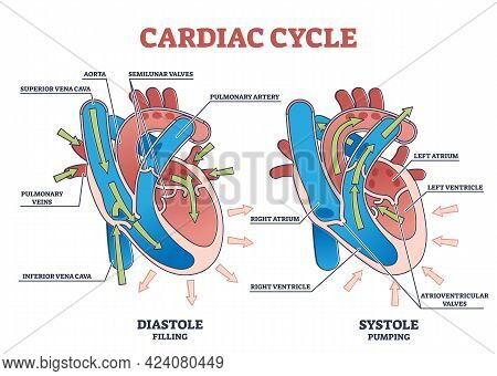 Cardiac Cycle With Heart Diastole And Systole Process Labeled Outline Diagram. Scheme With Education