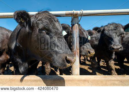 Black Cow In The Pasture. Close-up Portrait.