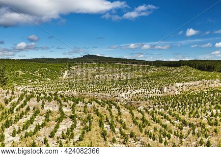 Forest plantation with new seedlings, forestry in New Zealand