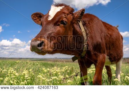 Baby Cow Grazing On A Field With Green Grass And Blue Sky, Little Brown Calf Looking At The Camera,