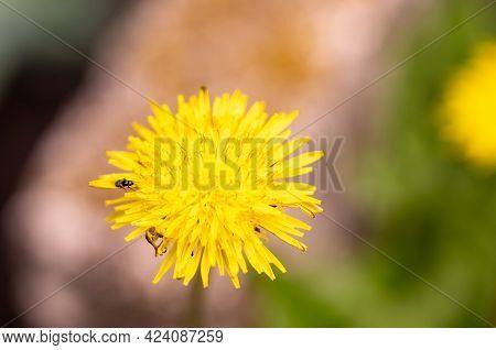 Yellow Dandelion With Little Bugs On It, Macro Shot