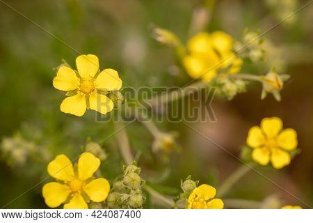 Yellow Flower Macro, Field Flowers Close Up