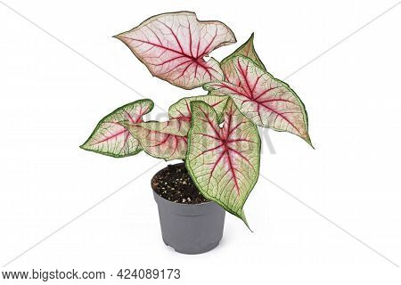 Beautiful Exotic Houseplant With Botanic Name 'caladium White Queen' With White Leaves And Pink Vein