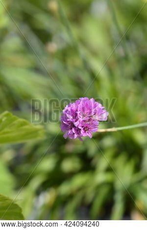 Great Thrift Ballerina Lilac Flower - Latin Name - Armeria Pseudarmeria Ballerina Lilac