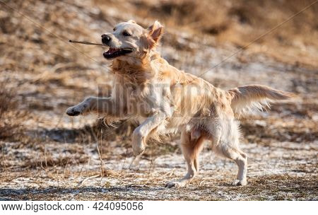 Golden retriever dog running in the field with dry yellow grass outdoors. Cute purebred doggy labrador playing at the nature in spring time