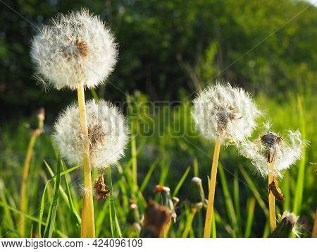White Fluffy Dandelions. Several Flowers. Dandelions Are In The Breeding Phase. Counter-light.