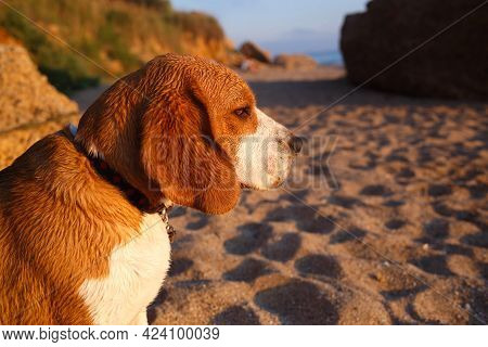Muzzle Of A Dog Of Breed Beagle In The Sand Close-up. Selective Focus, Blur