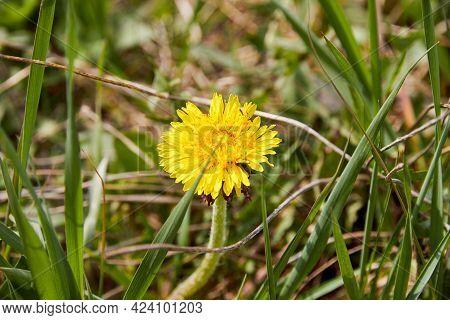 Close-up Of Dandelion Flower Among Green Grass