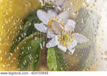 Nemorosa Anemone Flower Close-up On A Golden Background Behind Wet Glass
