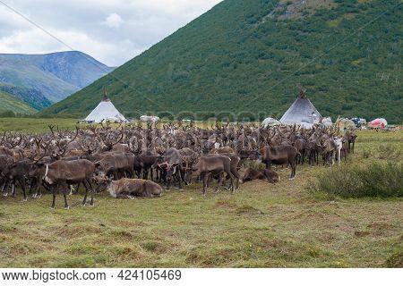 A Herd Of Reindeer At The Camp Of Modern Nomadic Reindeer Herders. Yamal, Russia
