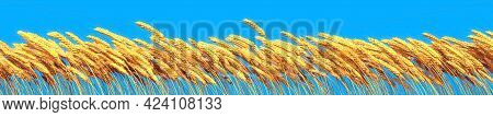 Rye Or Wheat On Blue Sky, Rural Yield Background Isolated, Industrial 3d Illustration