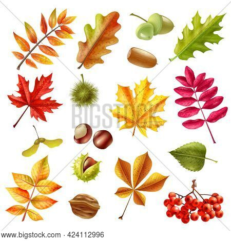 Beautiful Colorful Autumn Leaves From Different Trees Chestnut Ashberries And Acorn Set Isolated On