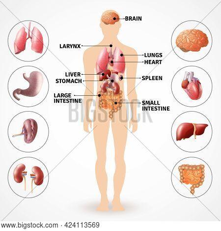 Medical Poster Depicting Human Anatomy Internal Organs On Light Background Flat Vector Illustration