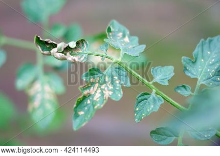 Close-up And Soft Focus Of Tomato Sprigs With Diseased Leaves In A Greenhouse