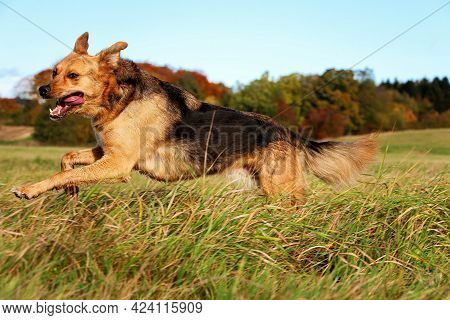 Beautiful Mixed German Shepherd Dog Is Running On A Field