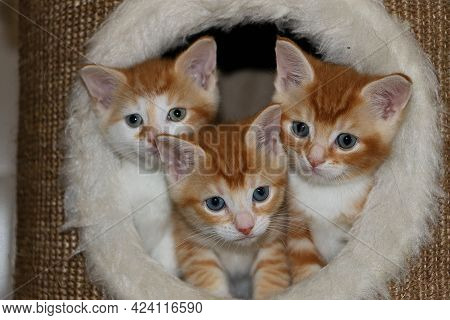 Three Red And White Haired Kitten Are Sitting Together In A Scratching Post