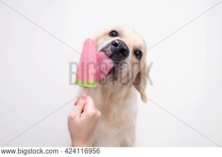 The Golden Retriever Eats Popsicles On A Stick During The Hot Season. A Female Hand Holds An Ice Cre