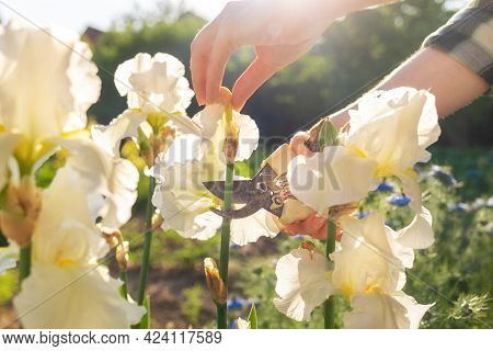 A Female Hands Cuts Off The Dried Flowers On The Iris Bushes With A Secateur. Sunlight. Close Up. Th